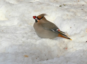 Bohemian Waxwing from another year