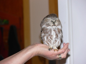Injured Saw-whet Owl which recovered after a few weeks rest at the Wildlife Rehab in Prince Rupert