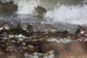 Shorebirds in the surf