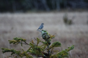 Mountain Bluebird Delkatla Dec 20 2012