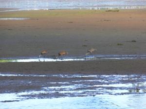 Sandhill Cranes in Delkatla