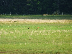 Sandhill Cranes on Haida Gwaii. Photo: M. Hearne