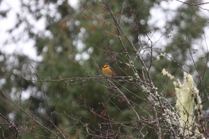Varied Thrush in the forest Photo: M. Hearne