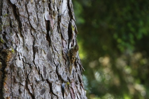 Brown Creeper in the Spruce Tree. Photo: M. Hearne