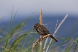 Song Sparrow - one of the little brown birds of Haida Gwaii