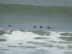 Black Scoters under the wave