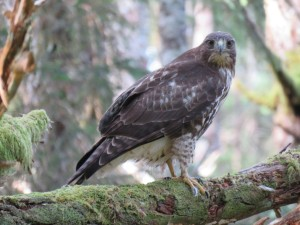 Goshawk Photo by Mary Helmer, Haida Gwaii resident g