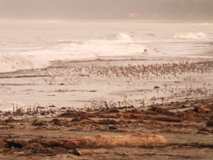 Shorebirds & Gulls in strange evening light